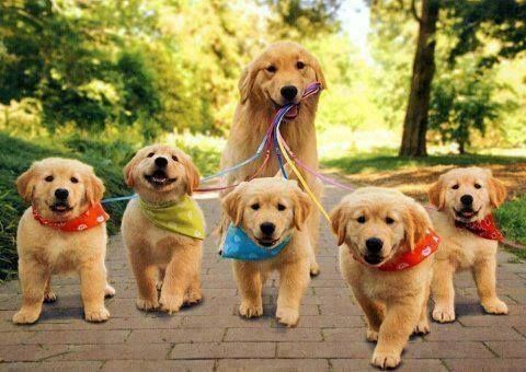 Mama Golden Retriever walking her five pups all wearing different coloured scarfs and with different coloured leads